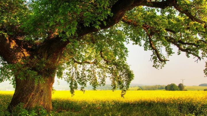 6950064-oak-tree